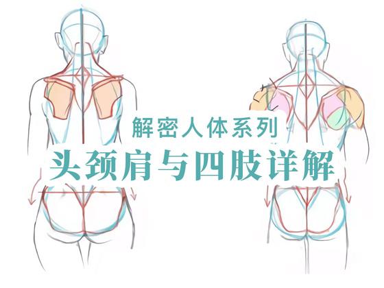 動漫手繪初學教程之頭頸肩與四肢的結構講解